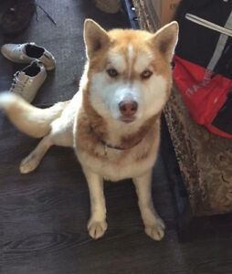Paws for Love dog rescue has a 3 year red husky mix for adoption