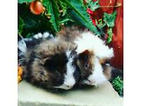 Pair of male guinea pigs (long haired)