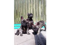 gorgeous french bulldogs puppies for sale