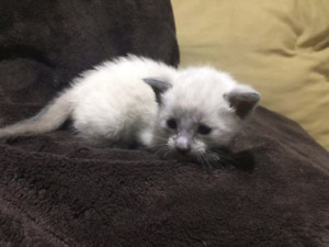 Pure Bred Siamese Bluepoint Kittens for sale
