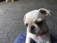Rare white pugs KC Registered