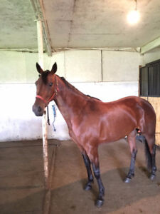 Wanted: Looking for Standardbred Horse