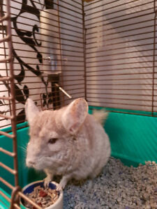 $200 Chinchilla to rehome comes with all accessories