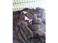 8 staffy pups for sale 4x girls 4x boys ready in 1 week!!