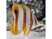 Large cooperband Marine fish