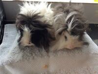 Long Haired Guinea Pig Brothers .