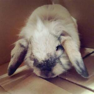 """Adult Male Rabbit - English Lop: """"Rootbeer Float"""""""