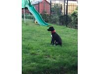Lurcher dog puppy