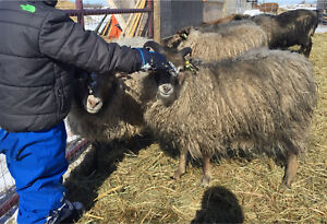 Yearling Icelandic ewe for pet or fleece