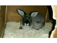 Netherland dwarf x mini lop rabbit