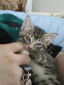 Cute Kittens Need A Home- FREE