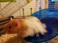 Cinnamon and white long haired Syrian hamster