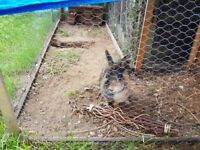 Female rabbit free to good home called daisy hutch included if needed.