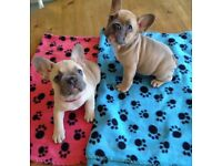 2 KC Registered Blue Fawn french Bullgog Puppies - 1 Boy 1 Girl - 7weeks old