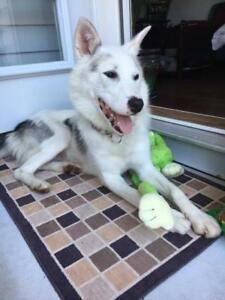 "Young Female Dog - Husky: ""Shilo"""