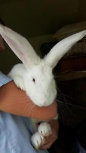"Adult Male Rabbit - New Zealand: ""Blake"""