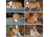 Beautiful bulldogs