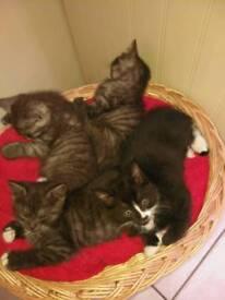 Half Maine Coon kittens