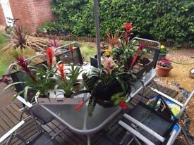 Bromelia Plants £3.50 each Baskets £8.00 each