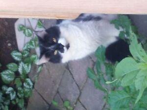 Lost cat found chatte trouvée le Plateau chat perdu
