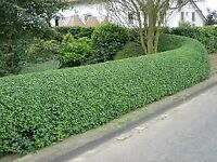 Hedge cutting / trimming . Grass cutting . gardener
