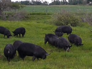 Naturally Raised  Berkshire Pigs