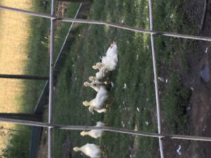 Chicks ducklings and guinea keets for sale