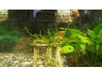 """12 mixed colour """"cherry"""" shrimp - collection only!!"""