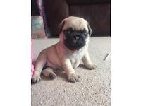 1 fawn Male KC reg Pug pup/puppy, 4 pups already sold.