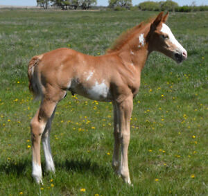 (25+ Yrs Horse Breeding Program)  Weanling to 2 Yr Old Prospects