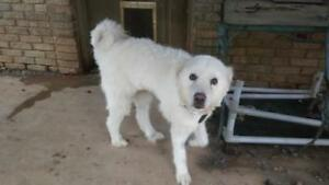 Young Female  - Great Pyrenees