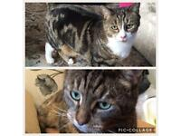 2 Tabby Domestic Short Hair Cats