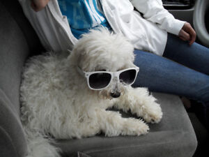 White Dog Lost in St George Ontario