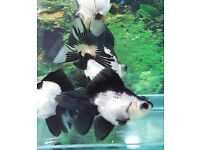 Panda Moors for sale 5-7cm Fancy Goldfish HUGE OFFER""