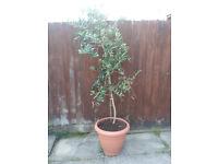 2x Large OliveTrees