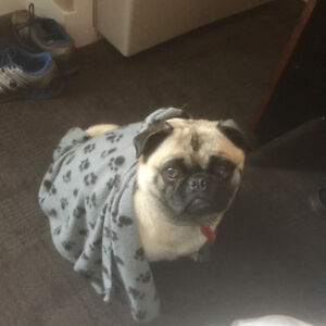 Pugsly Needs A New Home :(