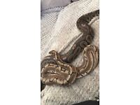 2x ball pythons need gone ASAP !!! (NOW)