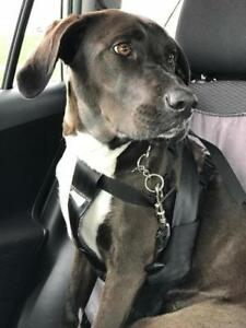 "Adult Female Dog - Labrador Retriever-Boxer: ""Dakoda"""