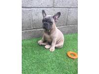 Blue sable boy French bulldog