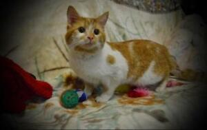 Adult Male  - Domestic Short Hair (Orange & White)