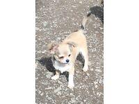 Chihuahua long coat puppy