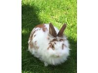 rabbit she is set in her own ways freindly but can be stubbon lol comes with no hutch