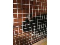 Black adorable bunny for sale