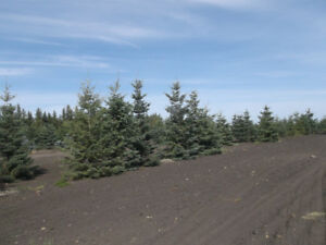sale on 16 foot white spruce
