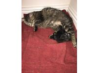 1/4 Maine Coon kittens for sale