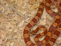 Cornsnakes and Large Vivarium For Sale