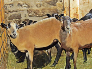 8 Barbados blackbelly sheep
