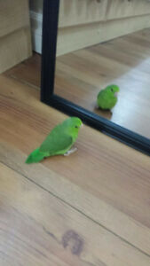 Green 2 month old Female  Parrotlet for sale