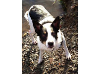 Border Collie - Free to a Good Home - Short Coat - Black and White with small Tan Marking on Nose