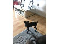 Lakeland/patterdale x whippet puppies